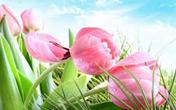 tulipani picc